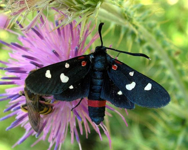 A colourful moth on a purple flower