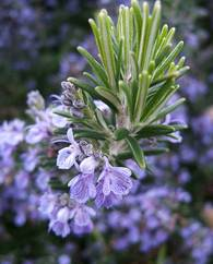 A photo of Rosemary