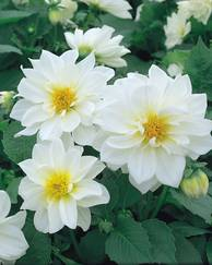 A photo of Dahlia 'Figaro White'
