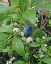 A photo of High-Bush Blueberry