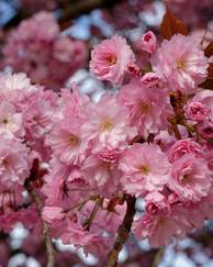 A photo of Japanese Flowering Cherry 'Kanzan'