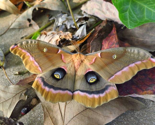 A close up of an emperor moth