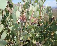 A photo of Protea punctata